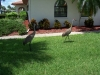 Cranes at Siesta Clubhouse